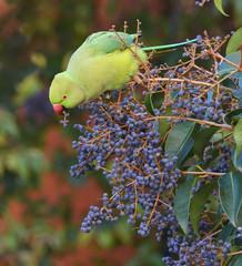pappagallo esotico che mangia frutta nella foresta