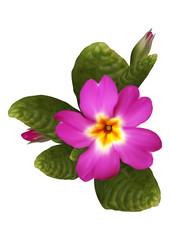 Pink primrose flower