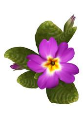 Purple primrose flower