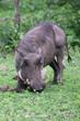 Warthog (Common Warthog) feeding, Delta Okavango