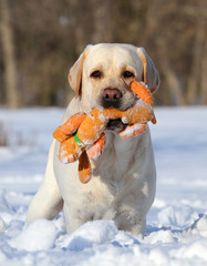 yellow labrador in winter with an orange toy portrait