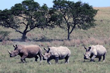 Rhino, rhinoceros, Kruger national Park