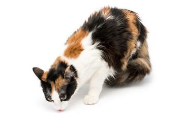 Gatto tricolor isolato su sfondo bianco