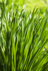 fresh grass macro in soft focus