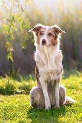 sable border collie dog portrait in summer