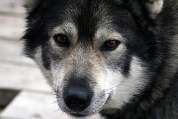 Siberian hunting dog Laika, Siberia