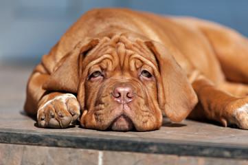 very funny puppy Bordeaux Mastiff
