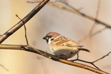 Eurasian Tree Sparrow (Passer montanus) on a twig