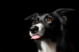 Fototapety happy dog border collies shows his tongue