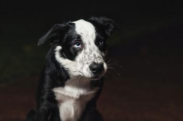 sad puppy border collies