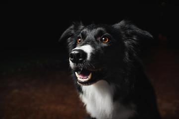 happy dog border collies