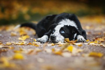 happy puppy border collie