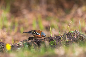 Chaffinch on the ground