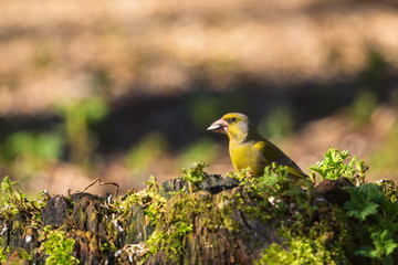 Greenfinch on a stump