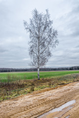 A single birch tree.