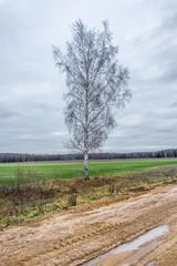 A single birch tree.