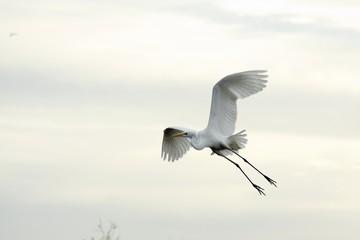 Flying White Heron 1