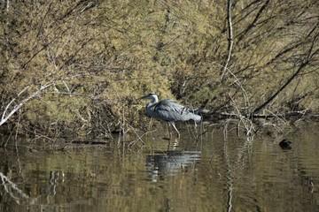 Standing grey heron 2