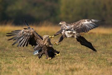 Aquila di mare combattimento