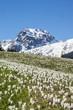 canvas print picture - Krokusblüte in den Alpen