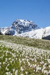 Krokusblüte in den Alpen