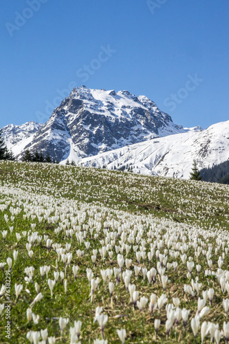 canvas print picture Krokusblüte in den Alpen