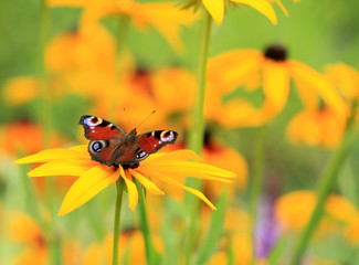 butterly  on flower