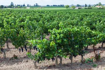Vineyard of bue grapes