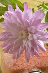 Chrysanthemum Mums Złocień Crisantemo Хризантема 菊属