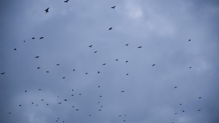 Crows Fly over the Gray Sky