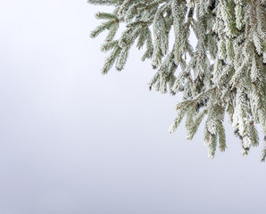 Branches of fir-trees covered with frost.