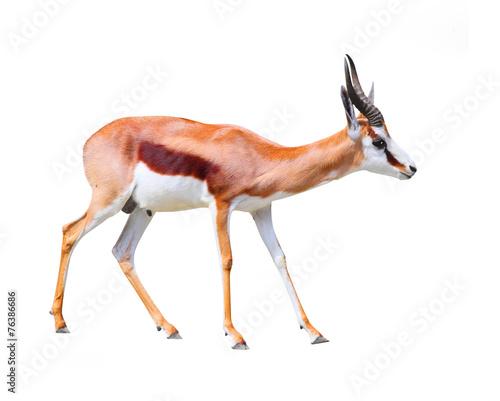 Staande foto Antilope The Springbok Antelope (Antidorcas marsupialis).
