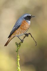 Redstart ( Phoenicurus phoenicurus ) . resting on a branch