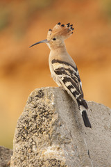 Hoopoe ( Upupa epops ) , perched on a rock