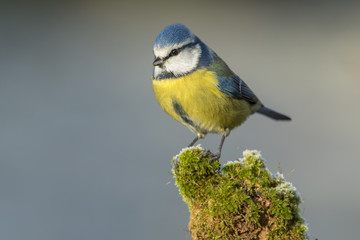 Tit ( Cyanistes caeruleus ) perched on a log with moss frosty