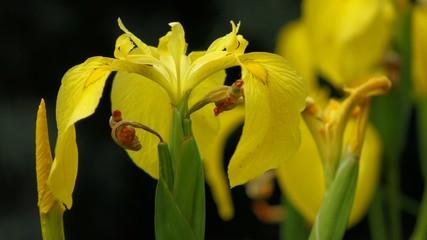 Yellow Iris ( Iris pseudacorus ) flowers and a small bee in wind