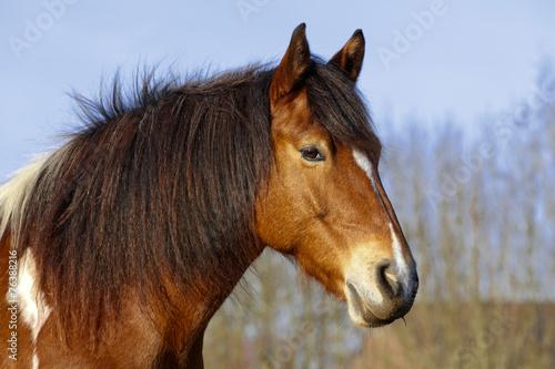 Keuken foto achterwand Paardrijden Schecke im Portrait