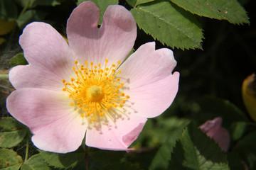 fiore rosa selvatica