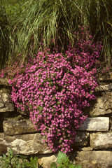 pianta profumata Saponaria ocymoides