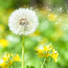 bright dandelion with flying seeds