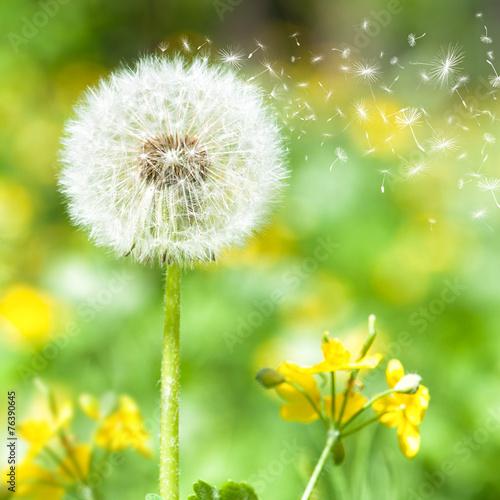 Tuinposter Paardebloem bright dandelion with flying seeds