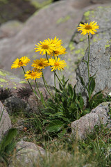margherite gialle (doronicum clusii)