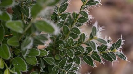 Leaves in Hoarfrost 1