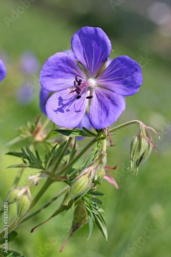 geranio dei prati (geranium pratense) - 76392213