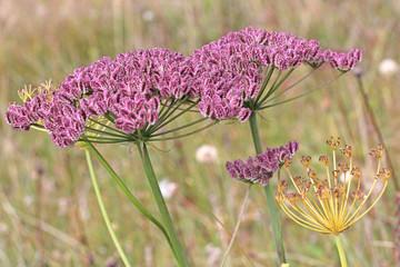 ombrelle viola (laserpitium latifolium, semi)