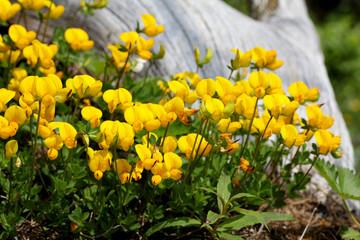 loto giallo (lotus alpinus)