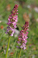 orchidea dei prati (gymnadenia conopsea)