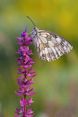 butterfly (Melanargia galathea)