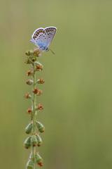 butterfly (Plebejus argus)