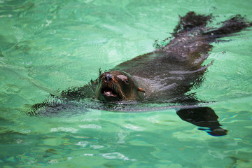 South African Fur Seal, Arctocephalus pusillus